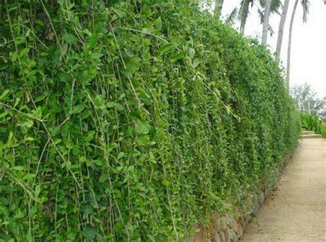 jual bibit tanaman lee kwan yewvernonia elliptica
