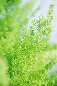 Zimmerpflanzen Alte Sorten : zierspargel asparagus densiflorus richtig pflegen ~ Michelbontemps.com Haus und Dekorationen
