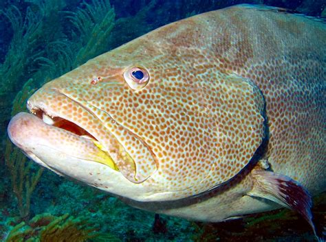 grouper belize groupers location