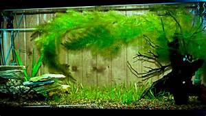 Growing Hornwort