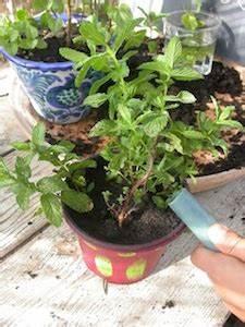 Pied De Menthe : planter de la menthe ~ Melissatoandfro.com Idées de Décoration
