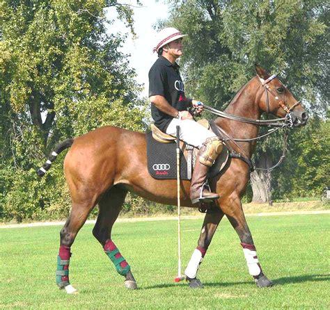 polo pony horse wikipedia yorkshire coach