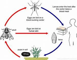 Dermatobia hominis - Human Botfly