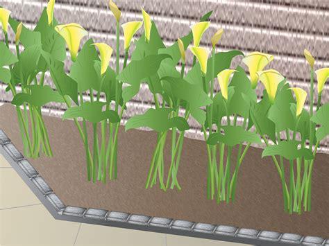 growing calla lilies indoors handymobi home improvement handyman diy mobile app