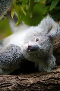 Little Koala