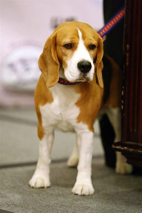 uno  westminster dog show pre event press conference