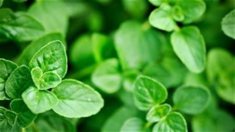 origan frais en cuisine origan valeur nutritive bienfaits santé et conservation