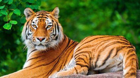 Nature Animal Wallpaper Hd - nature animals tiger big cats wallpapers hd desktop