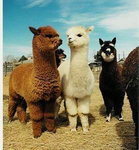 baby llama on Tumblr