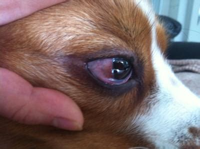 recurring dog eye infection organic pet digest