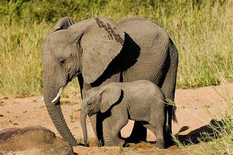images  elephant tattoo ideas  pinterest