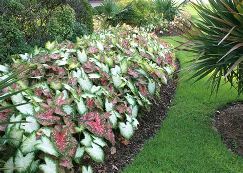 plants in garden caladiums bring color into shady landscapes mississippi state university extension service