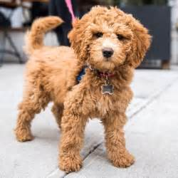 25 best mini goldendoodle ideas on cutest dogs small labradoodle and all breeds of