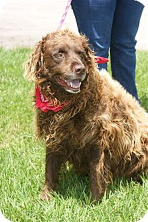 chesapeake bay retriever poodle mix breeds picture breeds picture