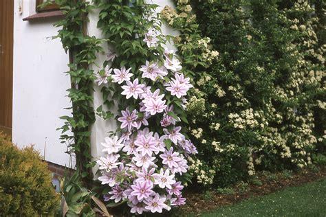 Kletterpflanzen Mit Blüten by Mehrj 228 Hrige Kletterpflanzen Kletterpflanzen Ratgeber