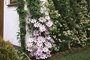 Blumen Winterhart Mehrjährig : mehrj hrige kletterpflanzen kletterpflanzen ratgeber garten schl ter ~ Whattoseeinmadrid.com Haus und Dekorationen
