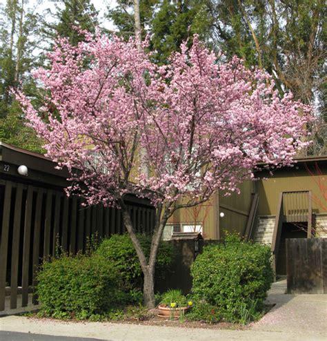 fruitless plum tree ufei selectree a tree selection guide