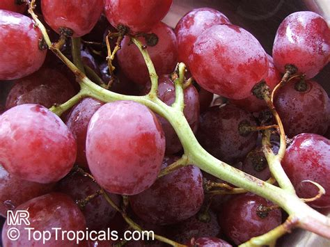 Vitis Vinifera Wine Grape