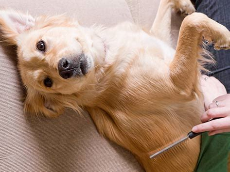 Shed Dogs by How To Pet Hair In The Home How To