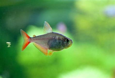 Kolumbijas Tetra (Hyphessobrycon Columbianus)   Zivis 2021