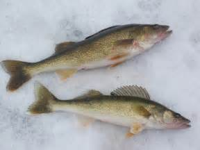 Ice Fishing Walleyes