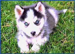 Siberian-husky-puppies-with-blue-eyes - InPaw