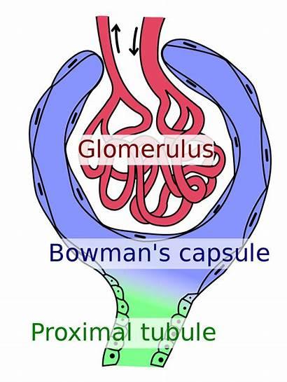 Glomerulus Capsule Bowman Svg Kidney Nephron Capillaries