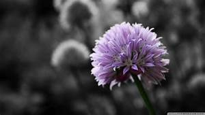 Download Purple Flower On Black And White Background ...