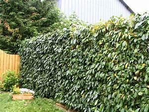 Comment Tailler Une Haie De Laurier : 17 meilleures id es propos de arbuste haie sur pinterest ~ Melissatoandfro.com Idées de Décoration