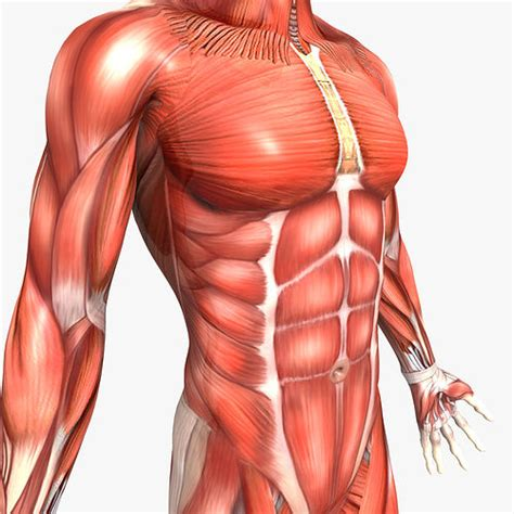 rigged human male muscular system cgtrader