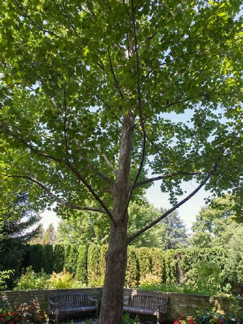 top  fastest growing shade trees page    top
