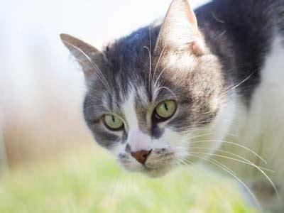 aegean cat information characteristics facts names