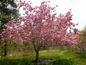 387  Kwanzan Cherry Tree