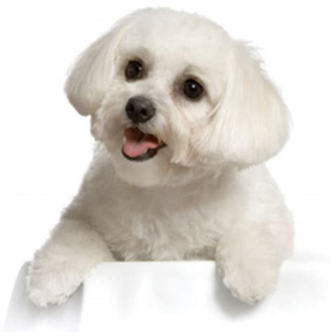do non allergenic dogs shed image gallery non shedding hypoallergenic dogs