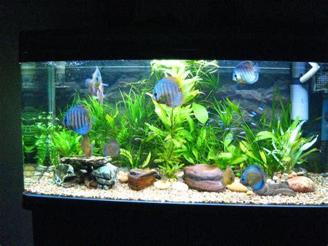 discus fish aquarium discus fish 2017 fish tank maintenance