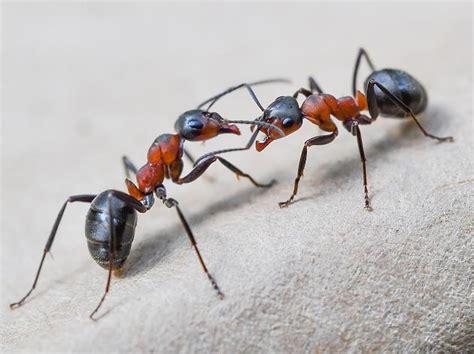 was sind ameisen ameisen studie zeigt warum 40 prozent aller ameisen nichts tun focus
