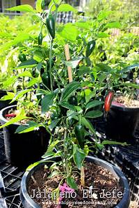 Jalapeno El Jefe The Hippy Seed Company Your Chilli Experts