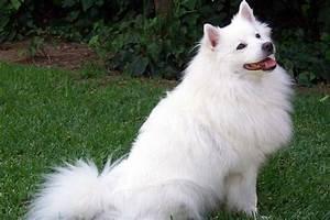 American Eskimo Dog Breed | Information on American Eskimo ...