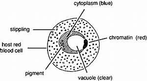 Basic Malaria Microscopy  Part I And Ii   Learning Unit 8