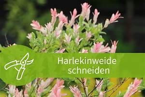 Pflanzen Schneiden Kalender : harlekinweide schneiden anleitung zum j hrlichen formschnitt ~ Orissabook.com Haus und Dekorationen