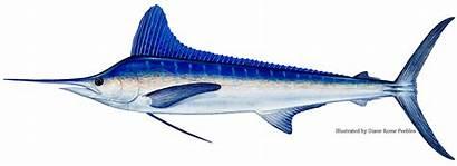Marlin Fish Billfish Identification