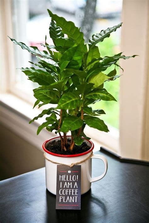 The coffee tree is a tropical evergreen shrub (genus coffea) and grows between the tropics of cancer and capricorn. 10 Plants For Dorm Rooms And Apartments
