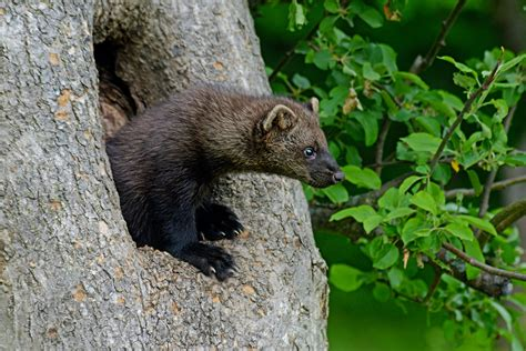 Fisher Cat Invasion! Warning Issued In Connecticut