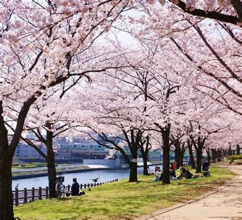 menanam bunga sakura  biji bibitbungacom