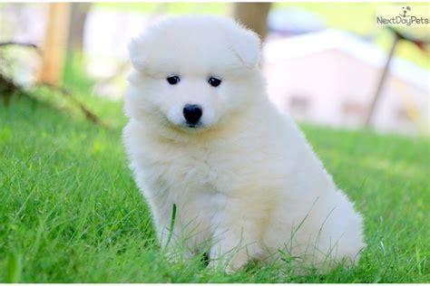 Mia Samoyed Puppy For Sale Near Lancaster Pennsylvania