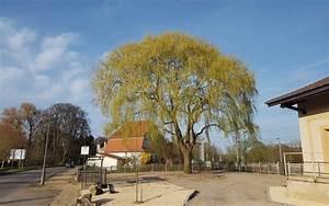 Taille Du Saule Pleureur : taille archives s a r l des tailles d 39 arbres ~ Melissatoandfro.com Idées de Décoration