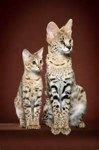 serval cat price cat cats in oregon cats in
