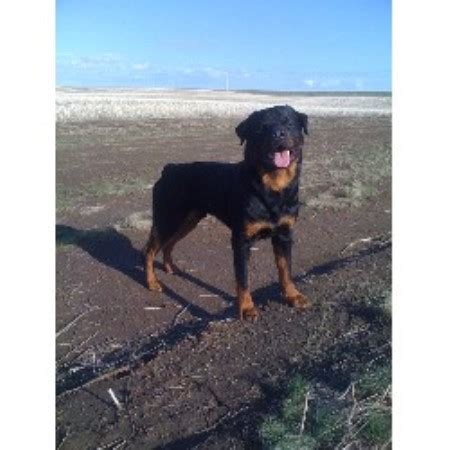 Coulee Regd Rottweiler Breeder In Rocky Mountain House