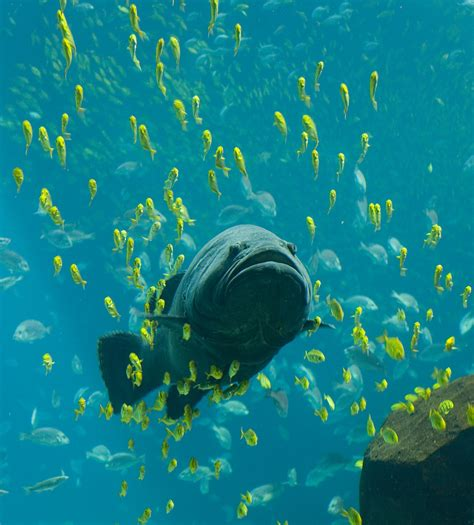 wikipedia grouper aquarium giant georgia aquatic water trevally golden fish ocean sea biggest underwater swimming feeding swim huge fishing under