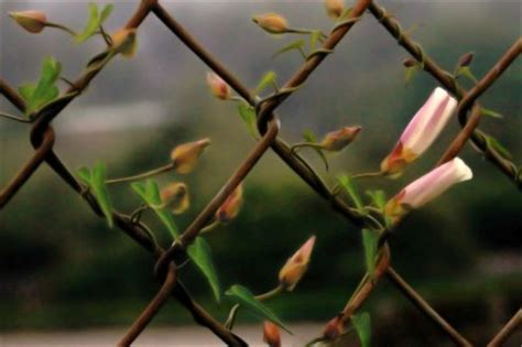 fast growing fence cover plants that grow on fences covering chain link fences with vines